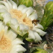 Saguaro cactus blossom (c)SPegany