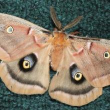 Polyphemus Moth (c)SPegany
