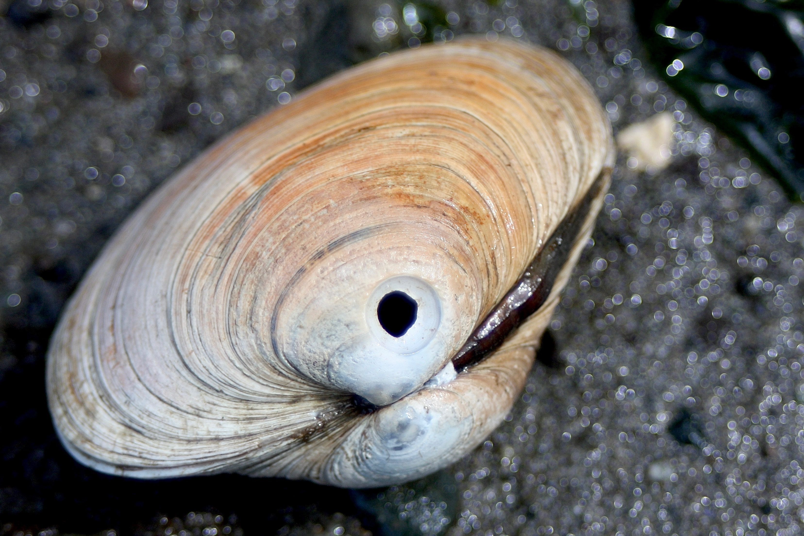 Moon Snail Bore