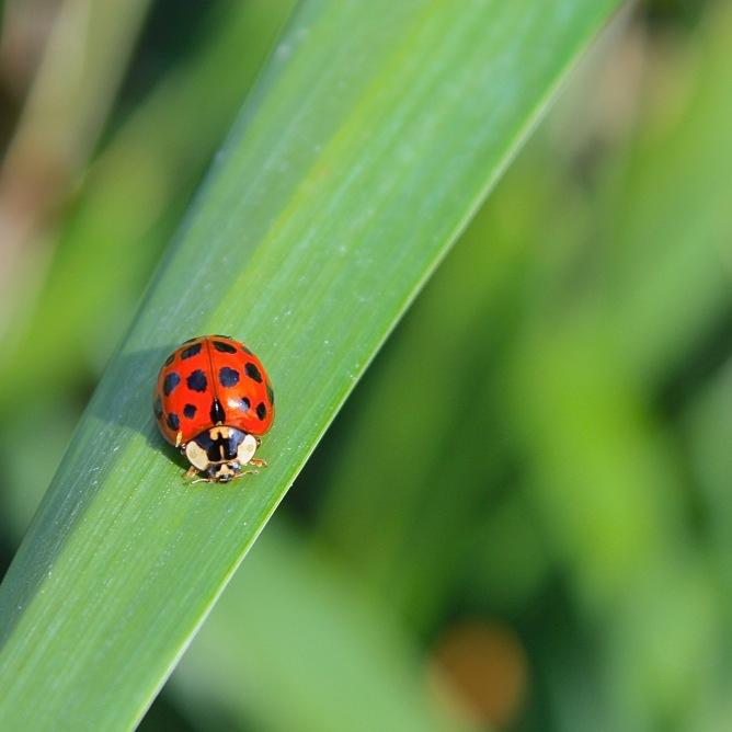Ladybird beetle (c)SPegany