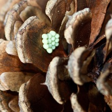 Insect eggs on cone (c)SPegany