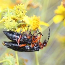 Master Blister Beetles (c)SPegany