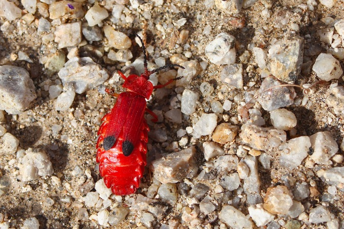 Bloody NetWinged Beetle
