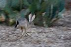 Jack Rabbit Ears
