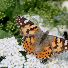 Painted lady butterfly (c)SPegany