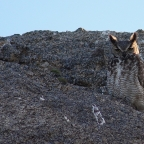 Things Unseen – Great Horned Owls