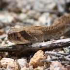 Things Unseen – The Hidden World of Rattlesnakes