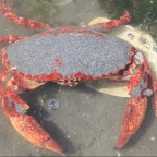 Spring Snapshot – Red Rock Crab